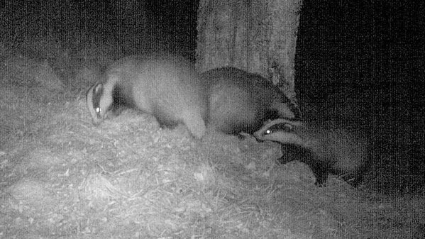 Three badgers at the peanut butter tree