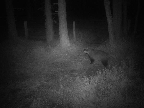 Badger near the corner post sett