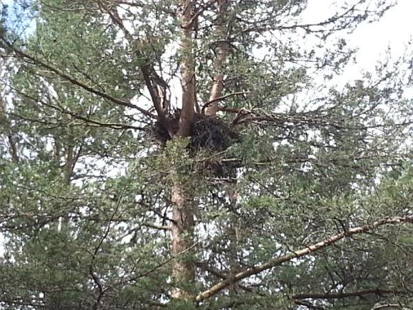 Buzzard nest