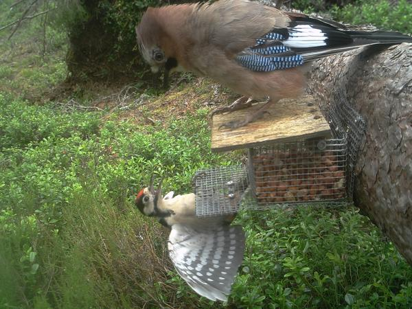 Jay and woodpecker squabbling