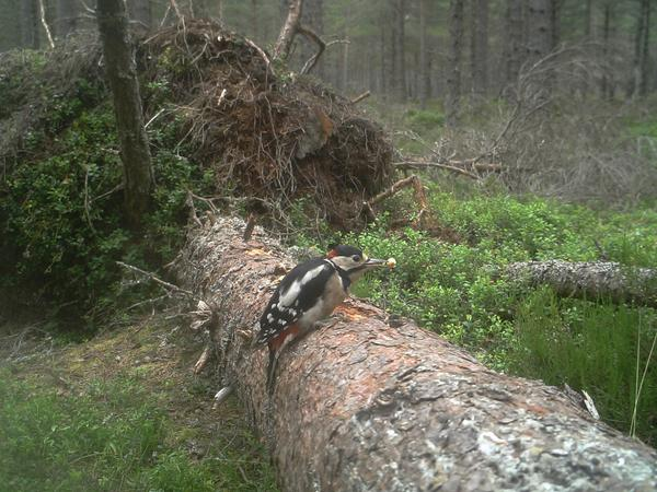Woodpecker on the fallen tree