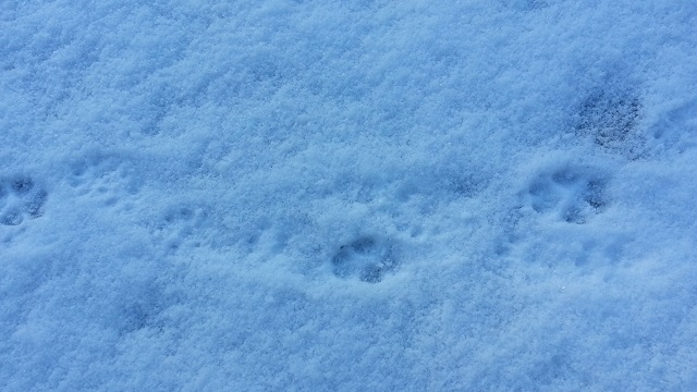 Fox and Pine Marten prints in snow