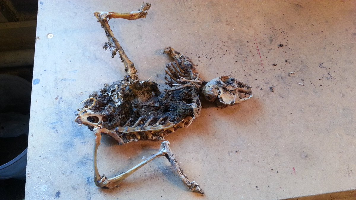 Skeleton Of A Hare
