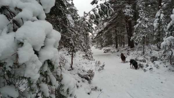 Dogs in the snowy woods
