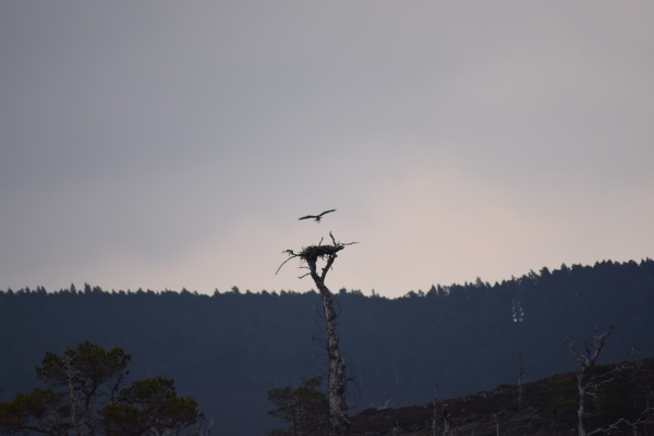 Osprey arriving at its nest